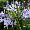 blauer Agapanthus